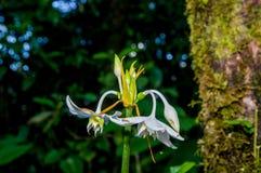 Belle usine verte d'ayahuasca de plan rapproché avec la fleur bleue fleurissant dans la forme de cloche, forêt tropicale amercian images stock