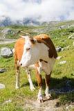 Belle vache Photographie stock libre de droits