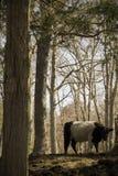Belle vache aux cheveux longs marchant par le noir en bois avec la rayure blanche Image stock