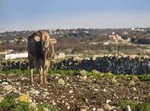 Belle vache simple dans la campagne gratuite Photos stock