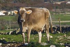 Belle vache simple dans la campagne gratuite Photographie stock