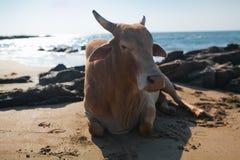 Belle vache sur la plage de Vagator Image libre de droits