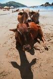 Belle vache sur la plage de Vagator Photographie stock libre de droits