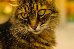 Belle verticale de chat Image libre de droits