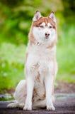 Belle verticale de chien de traîneau sibérien Photo libre de droits