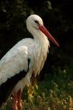 Belle verticale de cigogne Photo libre de droits