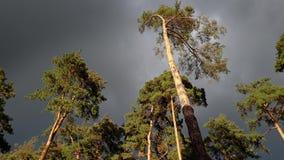 belle vidéo 4k de haut pin balançant sous le vent violent avant la tempête de pluie à la forêt impeccable banque de vidéos