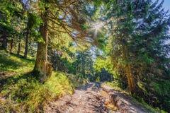 Belle vieille forêt féerique de pin pendant le début de la matinée à la lumière du soleil Image stock