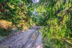 Belle vieille forêt féerique de pin pendant le début de la matinée à la lumière du soleil III Photo libre de droits
