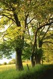 Belle vieille route rurale avec de vieux chênes photographie stock libre de droits