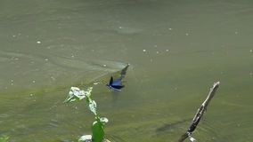 Belle Vierge volante de /Calopteryx de Demoiselle de libellule au-dessus du courant d'eau dans le mouvement lent banque de vidéos