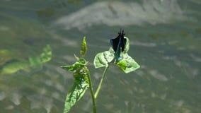 Belle Vierge volante de /Calopteryx de Demoiselle de libellule au-dessus du courant du plan rapproché de l'eau dans le mouvement  banque de vidéos