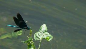 Belle Vierge volante de /Calopteryx de Demoiselle de libellule au-dessus du courant du plan rapproché de l'eau dans le mouvement  clips vidéos