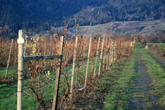 Belle vigne   Photographie stock