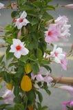 Gloires de matin roses et blanches traînant la vigne Photographie stock libre de droits