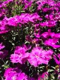 Belle viole del pensiero dei fiori nel giardino immagine stock libera da diritti