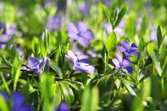 Belle viole in foglie verdi ed in erba Fiori e verdi Giardino o parco Sorgente Fotografia Stock