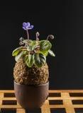 Belle violette dans une boule de mousse Photos libres de droits