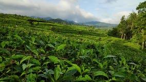 Belle viste delle piantagioni di tè in Batang centrale Java in Indonesia archivi video