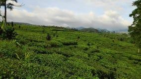Belle viste delle piantagioni di t? in Batang centrale Java in Indonesia stock footage