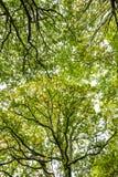 Belle voûte dans la réserve naturelle du bois antérieure, Crowhurst, le Sussex est, Angleterre image stock