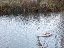 Belle vue de famille du lac blanc de cygnes muets et de jeunes cygnes Image libre de droits