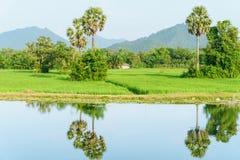Belle vue de gisement de riz de jasmin de paddy avec des palmiers de sucre Images stock