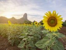 Belle vue de gisement de tournesol avec le fond de moutain sur le coucher du soleil photos stock