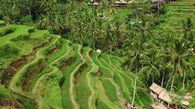 Belle vue de terrasses de riz à partir de dessus pousse avec le bourdon un jour ensoleillé banque de vidéos