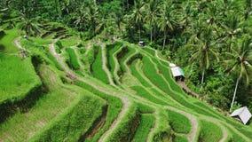 Belle vue de terrasses de riz ? partir de dessus pousse avec le bourdon un jour ensoleill? banque de vidéos