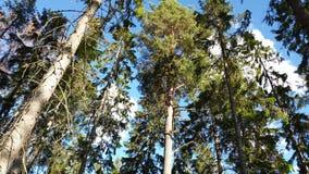 Belle vue des dessus verts de hauts arbres sur le fond de ciel bleu et de nuages Milieux magnifiques de nature clips vidéos