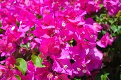 Belle vue des fleurs roses sous le paysage de lumière du soleil à l'été sur l'île d'Aegina Image libre de droits