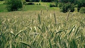 Belle zone de blé clips vidéos