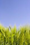 Belle zone de blé et ciel bleu Image stock