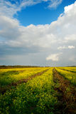 Belle zone de graine de colza jaune lumineuse Photographie stock