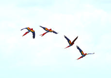 Bellen Scharlachrot die Keilschwanzsittiche, die Enterich fliegen, corcovado, Costa Rica Lizenzfreie Stockfotos