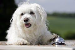Bellende hond Stock Foto's