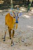 Bellende Rotwild oder rotes Muntjac im allgemeinem Namen oder in Muntiacus muntjak Lizenzfreie Stockfotos