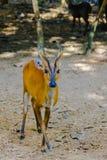 Bellende Rotwild oder rotes Muntjac im allgemeinem Namen oder in Muntiacus muntjak Lizenzfreies Stockbild