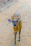 Bellende Rotwild oder rotes Muntjac im allgemeinem Namen oder in Muntiacus muntjak Lizenzfreies Stockfoto