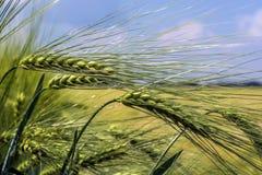 Belles, awned, pleines oreilles de grain d'orge sur un fond de champ et ciel Photos libres de droits