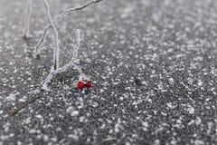 Belles baies congelées sur la branche avec des cristaux de glace Photographie stock