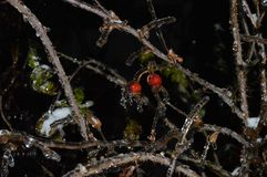 Belles baies rouges congelées dans l'eau en hiver images libres de droits