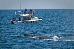 Belles baleines de bosse dans la côte de l'Equateur Images stock