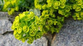 Belles Bells des fleurs de l'Irlande Shell fleurissent images stock