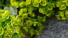 Belles Bells des fleurs de l'Irlande Shell fleurissent photos libres de droits