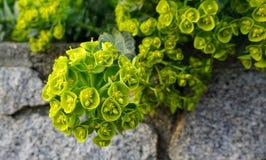 Belles Bells des fleurs de l'Irlande Shell fleurissent photo stock
