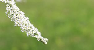 Belles branches blanches fleurissantes des buissons banque de vidéos