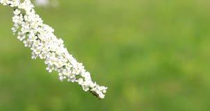 Belles branches blanches fleurissantes des buissons clips vidéos