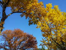 Belles branches d'arbre colorées et ciel bleu d'espace libre à P central Photo libre de droits